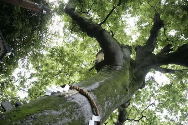 樹齢約850年の御神木の榎